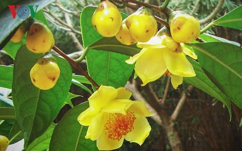 Trà hoa vàng là loại dược liệu quý của vùng núi Ba Chẽ, Quảng Ninh